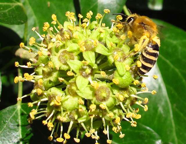 Fig. 10 Ivy bee (Colletes hederae) photographed in Shropshire.