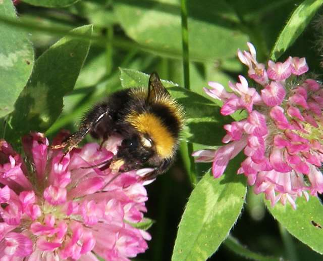 Small garden bumblebee, Bombus hortorum. This long-tongued   species is especially attracted to red clover.