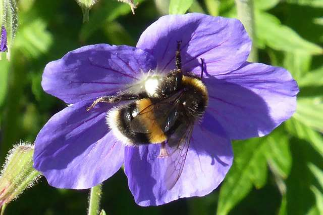 White-tailed bumblebee, Bombus lucorum, has a short tongue,  and favours shallow fowers like this geranium.