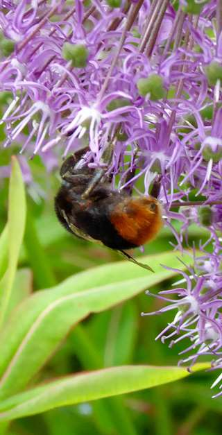 Fig. 5 Queen red-tailed bumblebee, Bombus lapidarius, on an allium   inforescence.