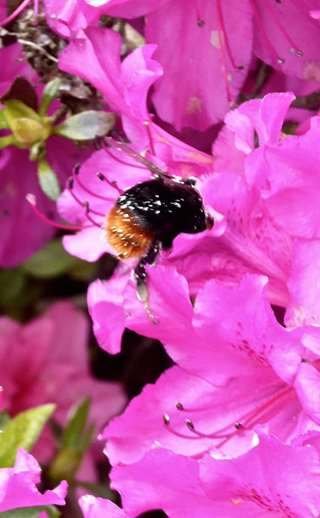 Fig. 6 A red-tailed bumblebee on  a rhododendron. Rhododendron   is toxic to the western honeybee,   but not to bumblebees.