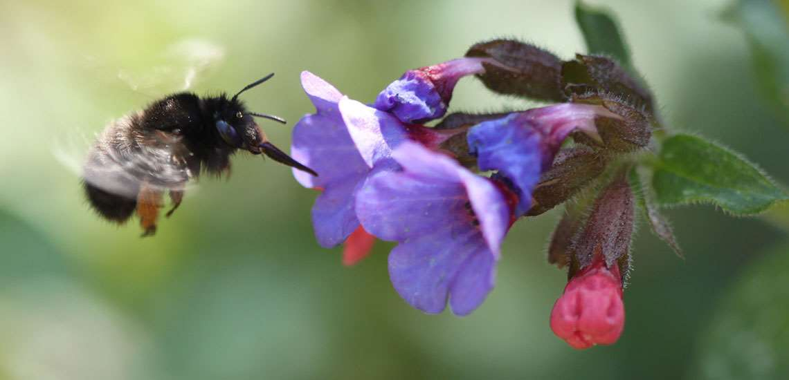 Fig. 7 Hairy-footed fower bee (Anthophora plumipes) browsing on a pulmonaria.