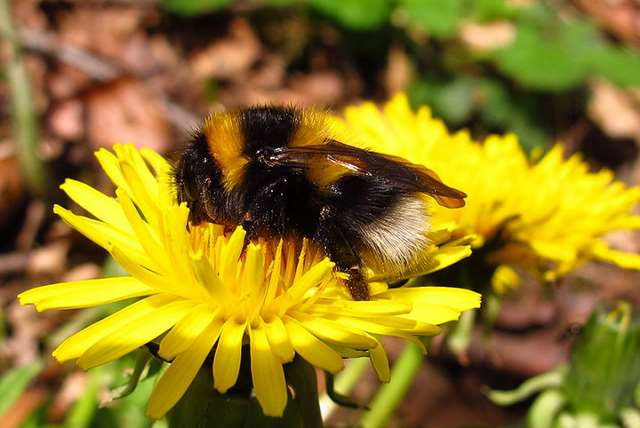 Fig. 8 Small garden bumblebee on a dandelion.