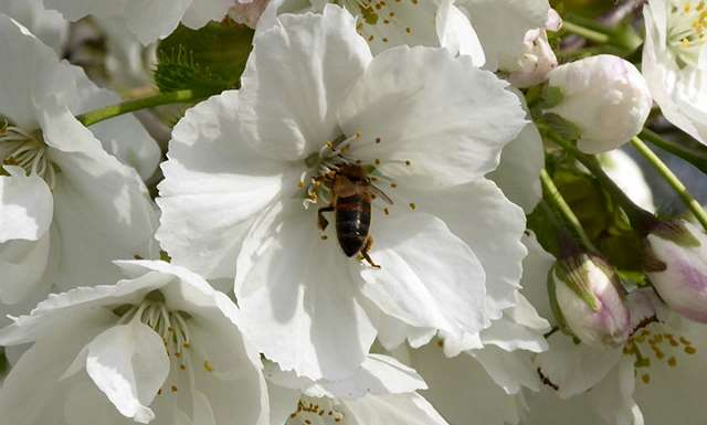 Fig. 9 Honeybee browsing on cherry blossom, a rich source of nectar  early in the season.